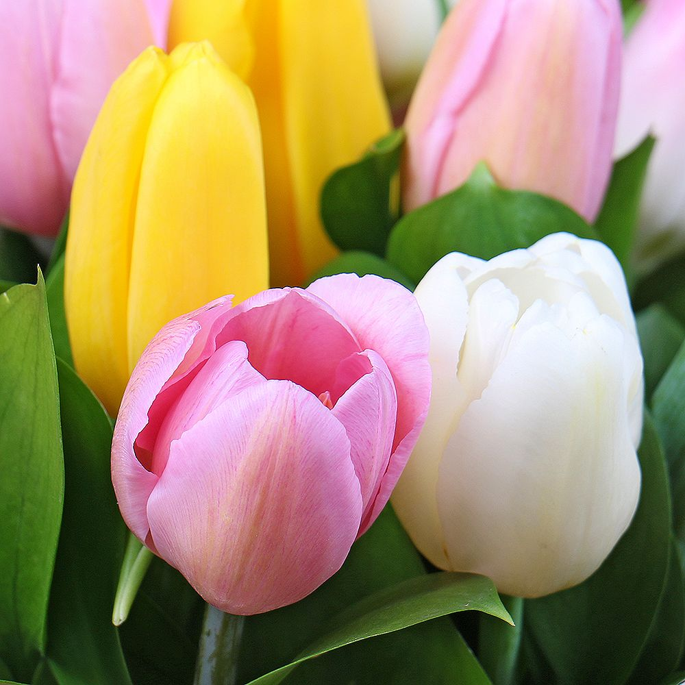 Bouquet 15 tulips in a box