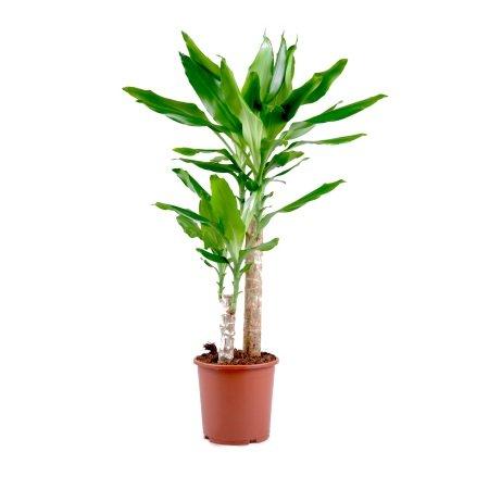 Bouquet Dracaena