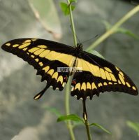 Product Butterfly Papilio thoas