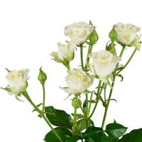 Buy delicate bouquet of White spay roses by the piece with the best flower delivery