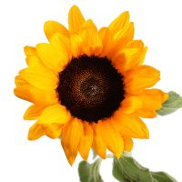 Bouquet Sunflower by piece