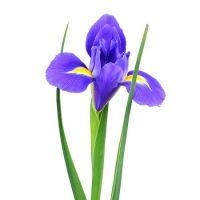 Bouquet Blue irises by the piece